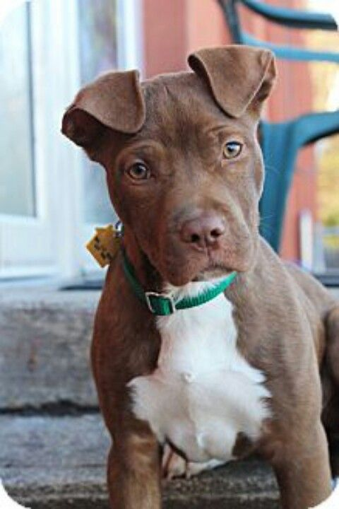 Adopt Abby On Petfinder Pitbull Puppies Puppies Dogs And Puppies