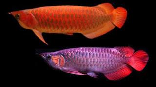 Pin Oleh Fish Zone Di Arowana Fish Di 2020 Ikan Hiasan Gigi