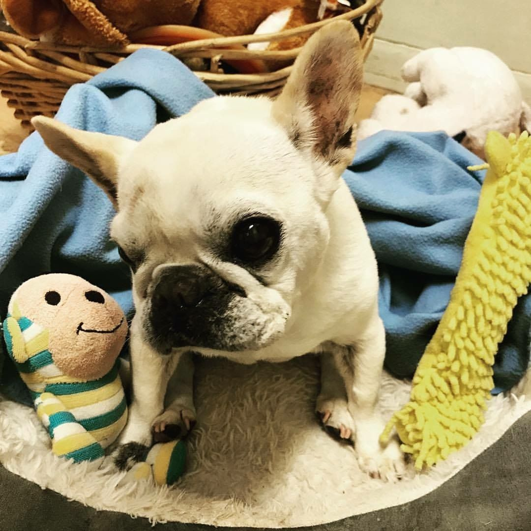 French Bulldog dog for Adoption in Los Angeles, CA. ADN