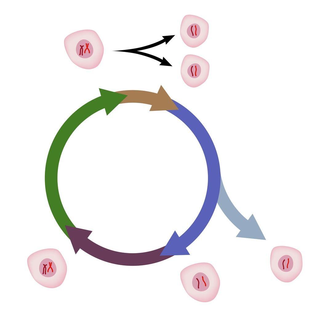 Cell cycle diagram quizlet science diagrams pinterest cell cycle diagram quizlet ccuart Image collections