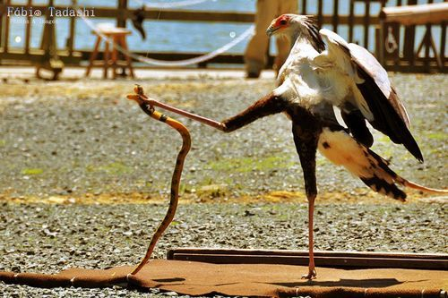 Secretary Bird V. Cobra......my favorite animal