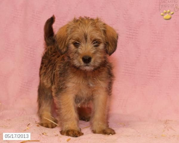 Lisa Schnauzer/Lhasa Mix Puppy for Sale in Paradise, PA