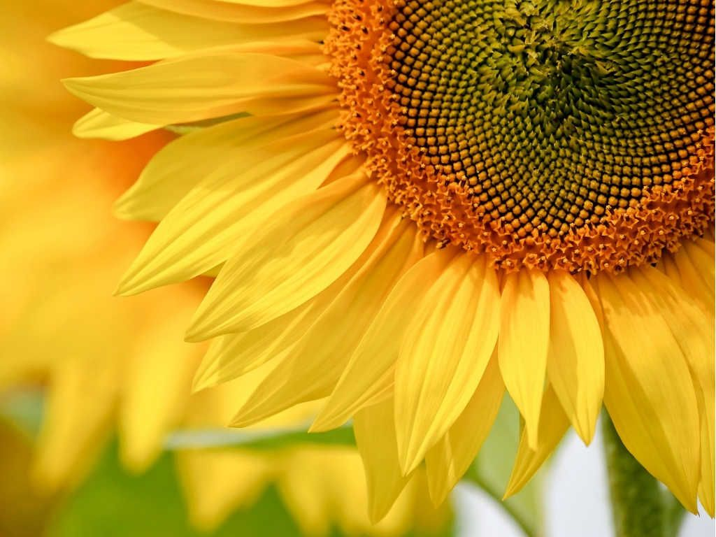 Pestki Slonecznika Na Odpornosc I Mocne Serce Kwiaty Na Bol Zoladka A Olej Na Cholesterol Sunflower Art Print Sunflower Throw Pillows Sunflower Art