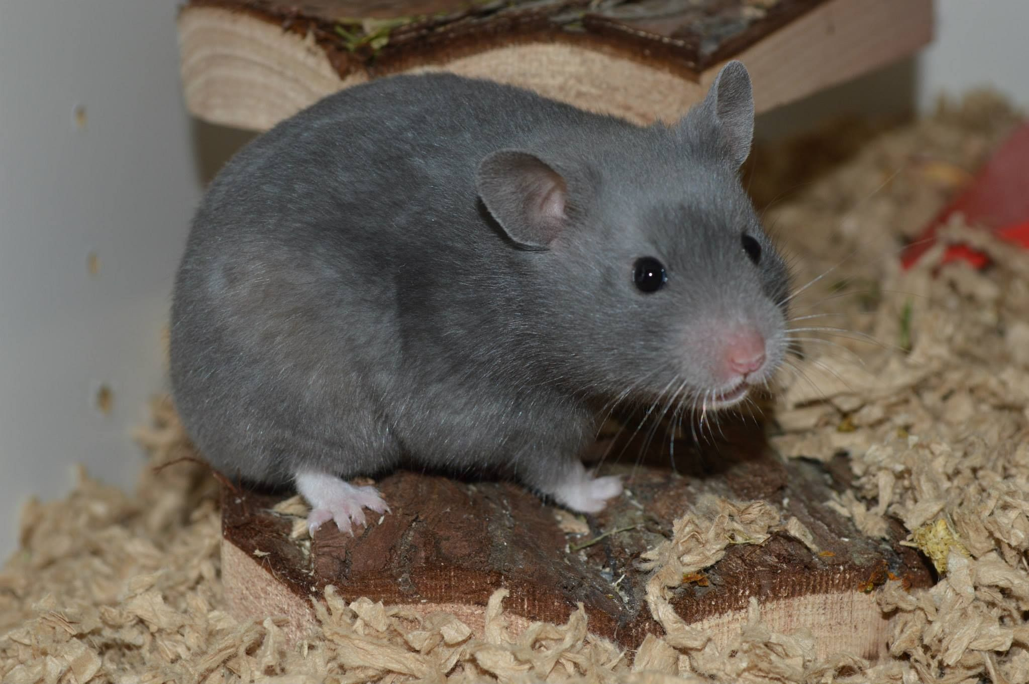 Brown Eared Blue Sable Polywhite Rex Sh Hamster Bbddeeu L Rxrxwh Pwh P Syrian Hamster Hamster