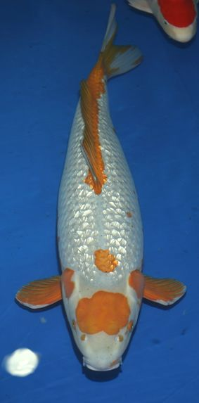 Midwest pond and koi society goromo an amazing breed for Amazing koi fish
