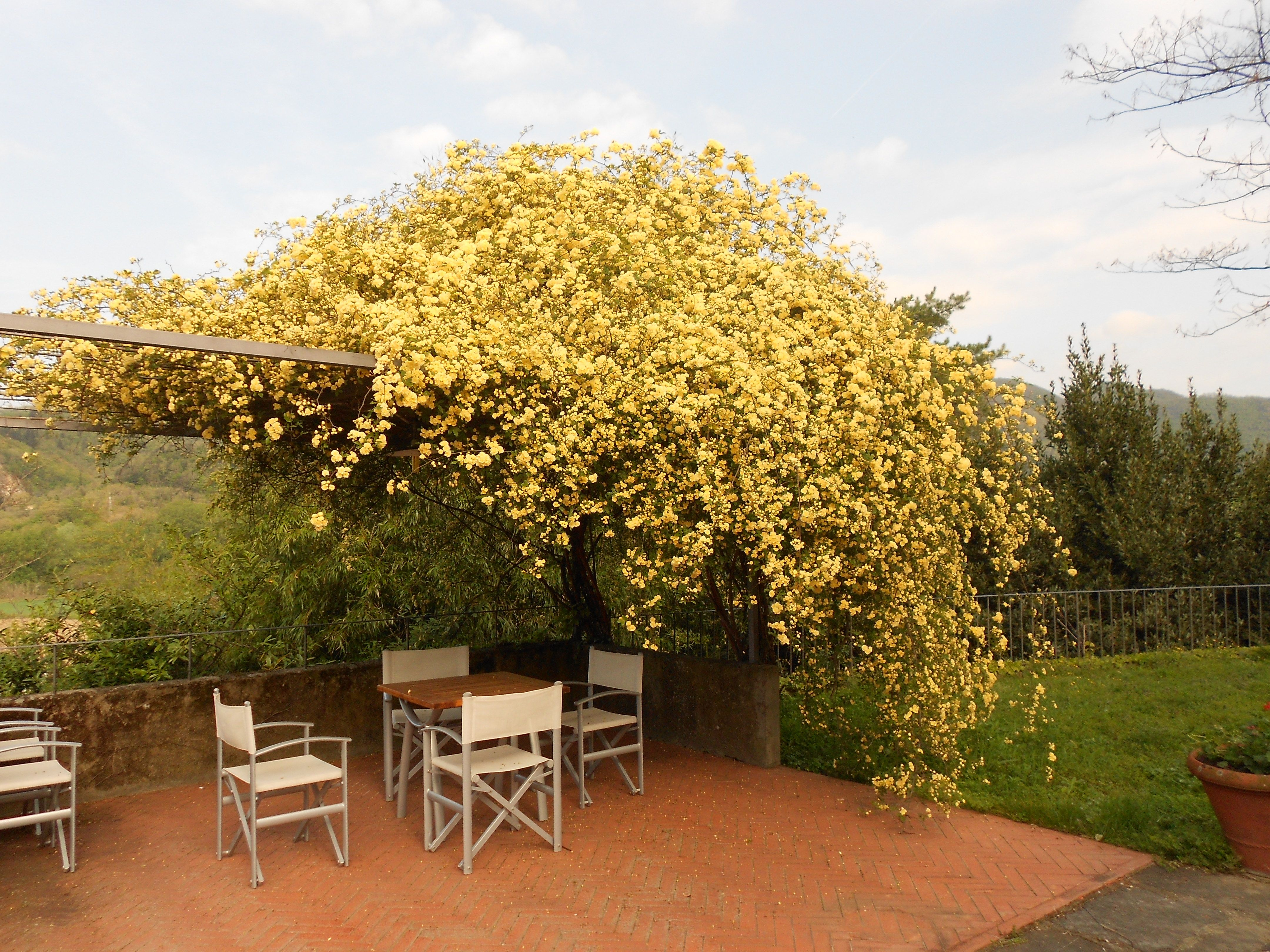 gazebo with yellow roses-spring