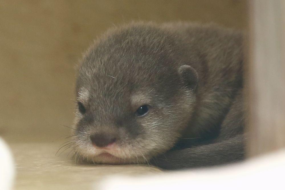 かわうそ初心者のブログ サンシャイン水族館 イクメンピーター かわうその赤ちゃん かわいい動物の赤ちゃん かわいいペット