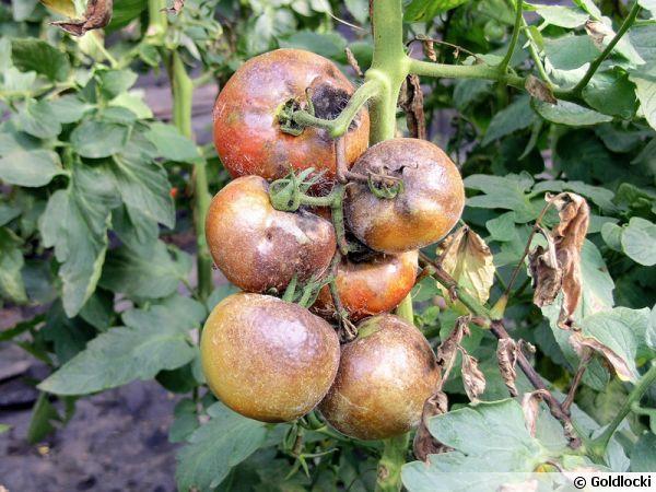 10 conseils pour viter le mildiou de la tomate a vos graines citoyens pinterest potager. Black Bedroom Furniture Sets. Home Design Ideas