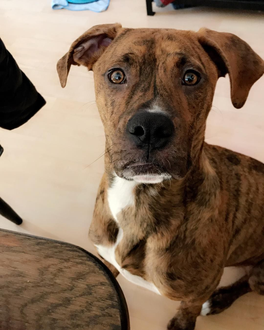 Pitbull Boxer Mix 10 Important Facts About This Loyal Crossbreed