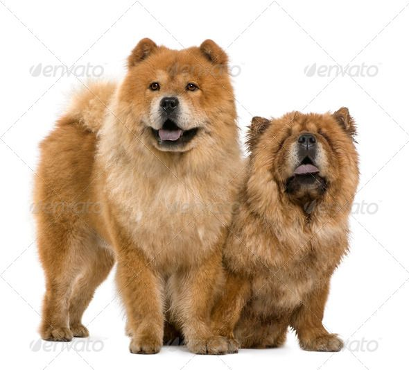 Chow Chow 5 And 6 Years Old Standing In Front Of White