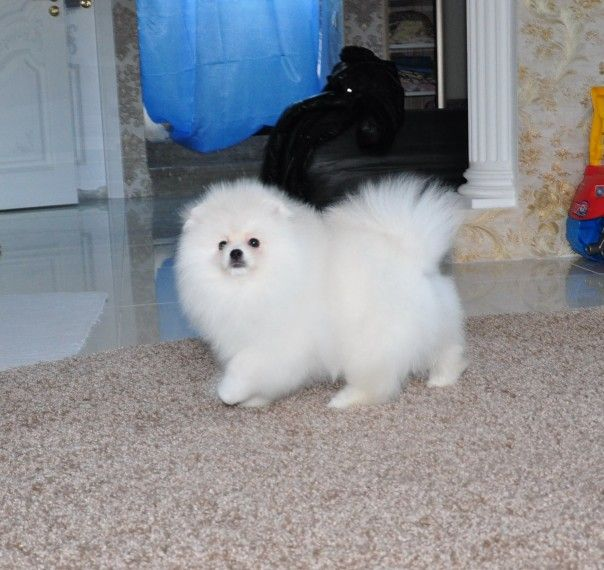 Pin On Dogs And Puppies For Sale