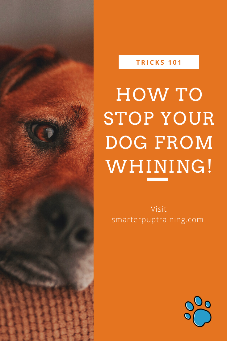 Dog Whining Driving You Insane Here S What To Do Dog Whining Puppy Whining Stop Whining