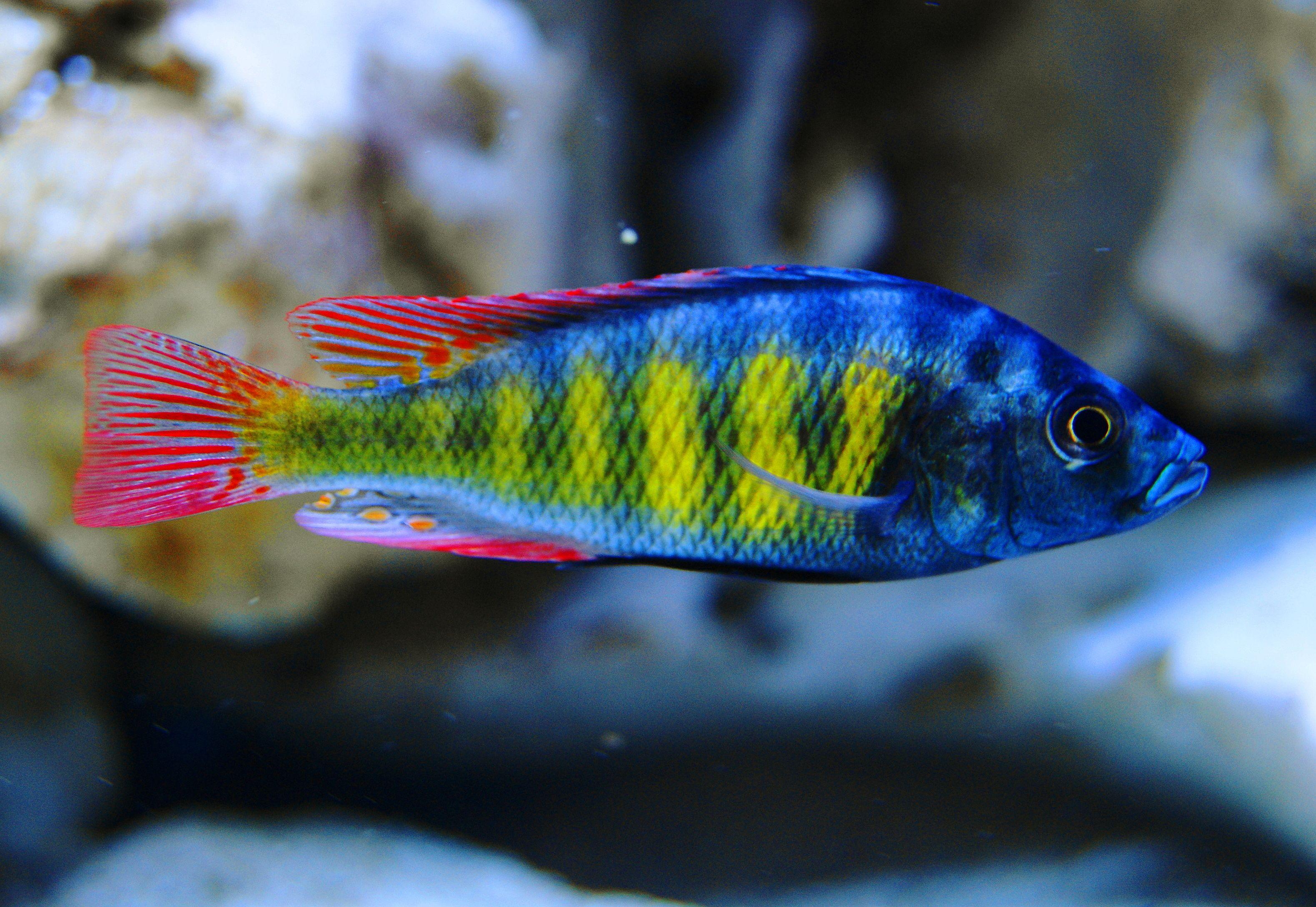 Haplochromis Sp 44 Obliquidens Haplochromis Thick Skin Pet Fish Freshwater Fish African Cichlids
