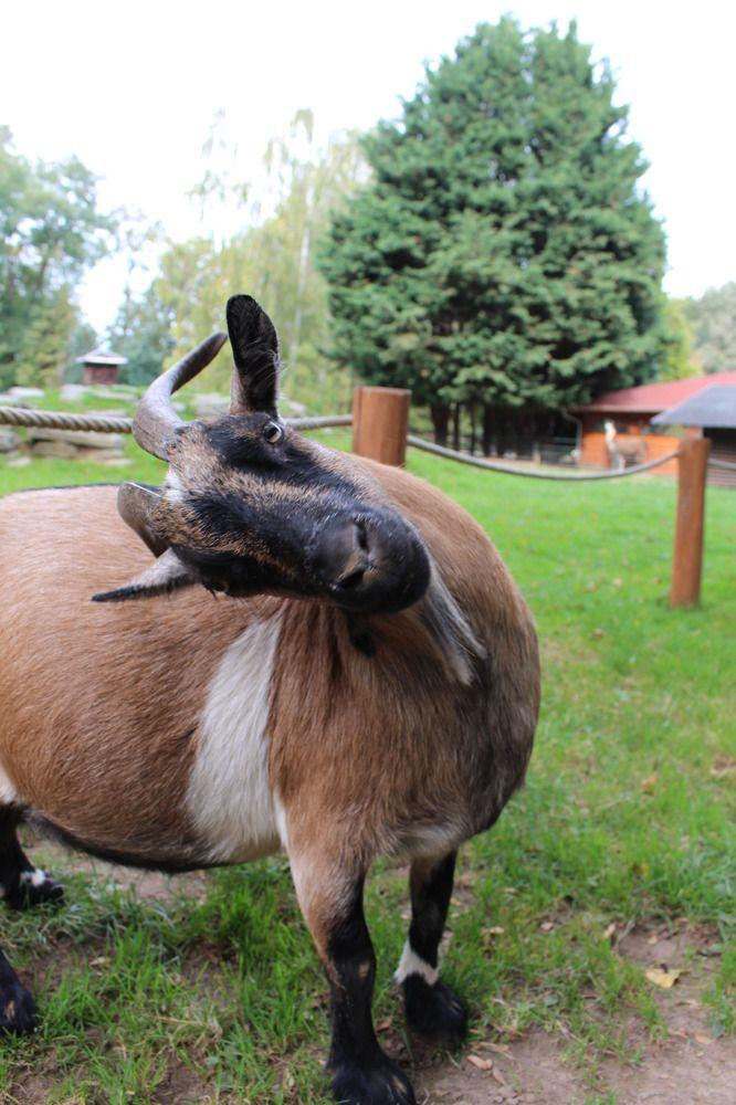Ziege ist nur Querformat gewohnt | Ziege, Tiere, Foto