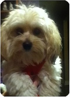 Mississauga On Maltese Shih Tzu Mix Meet Jasper A Puppy For
