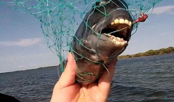 Florida Sheepshead Teeth Google Search Human Teeth Animals Beautiful Human