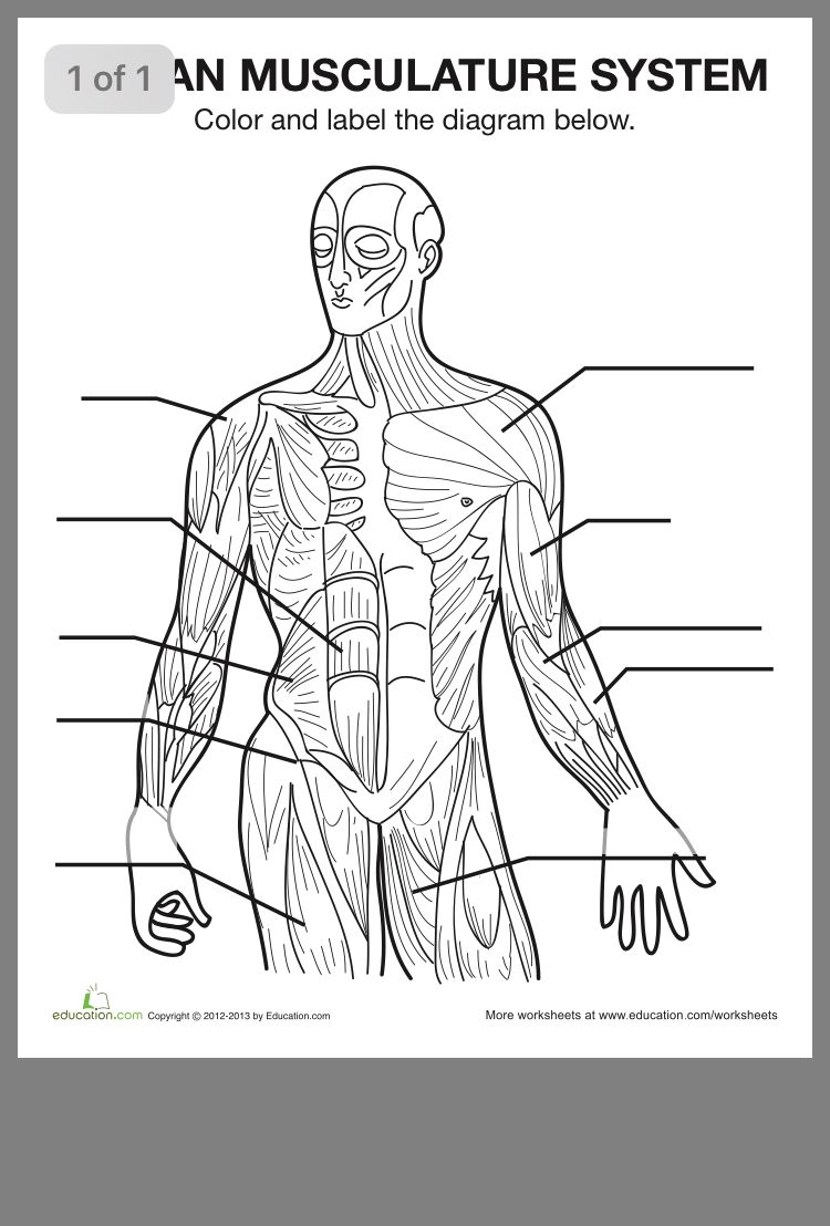 Pin by Anca on Biology Muscle diagram, Human anatomy
