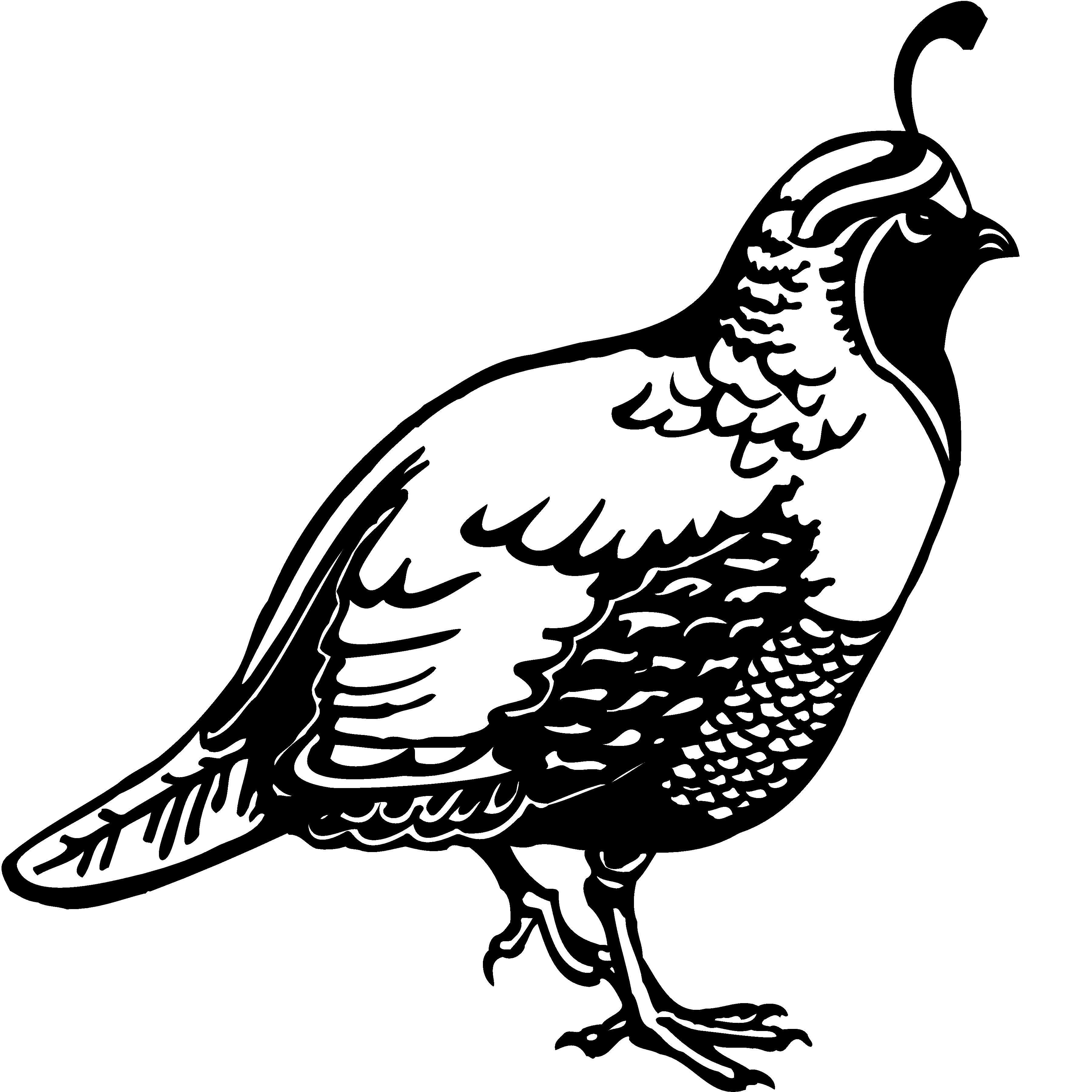 Coloring pages quail - Quail