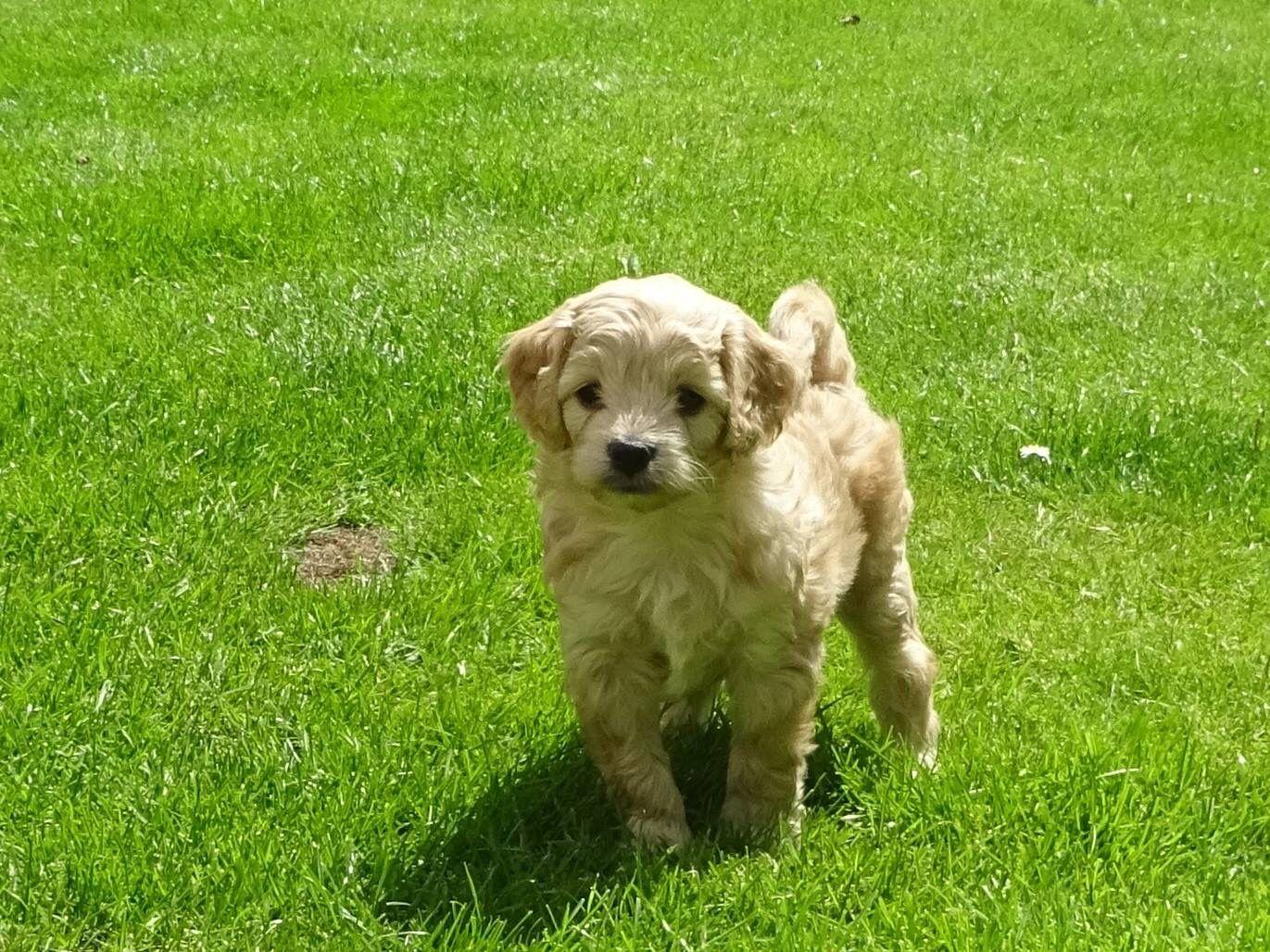 Cream Cavapoochon Pup Cavapoochon Labrador Retriever Golden