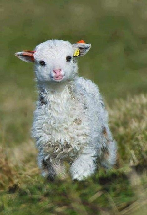 Baby Sheep Are Such Cute Little Animals Prelude They Laugh At
