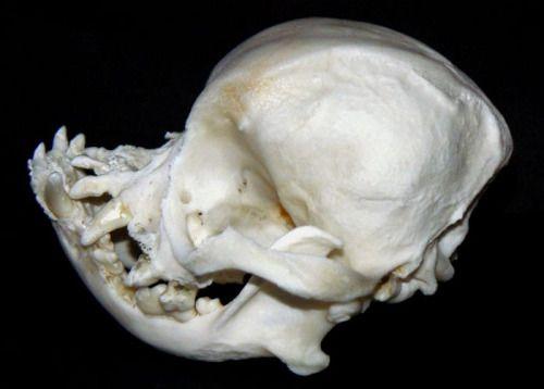 Cenobiteme Pug Skull