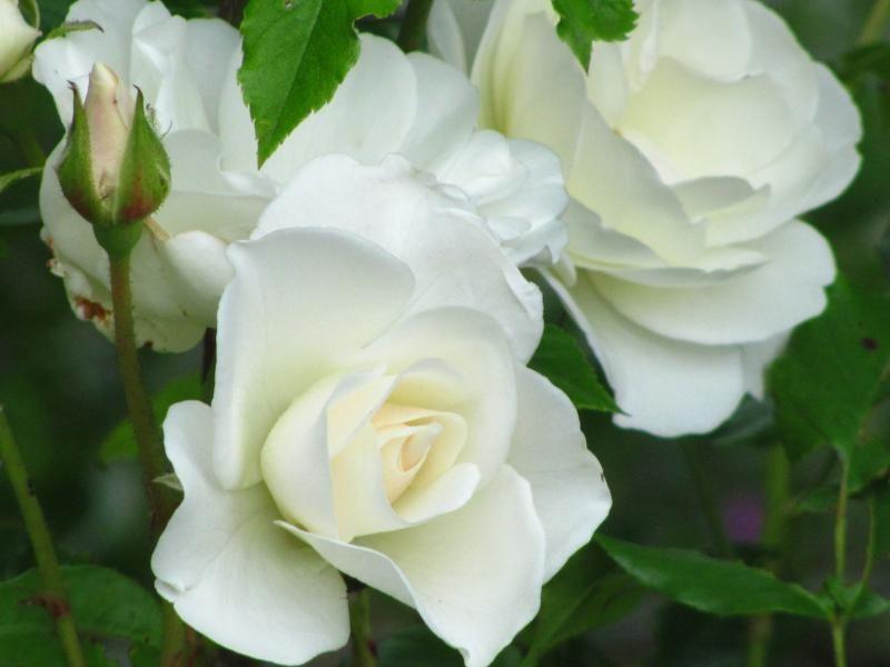 Rosa hybride 'White Climber'