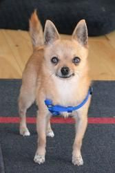 Adopt Mickey On Chihuahua Rescue Chihuahua Dogs Chihuahua