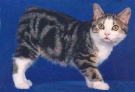 Manx Cats Manx Cat Breed Manx Kittens Manx Cat Cat Breeds