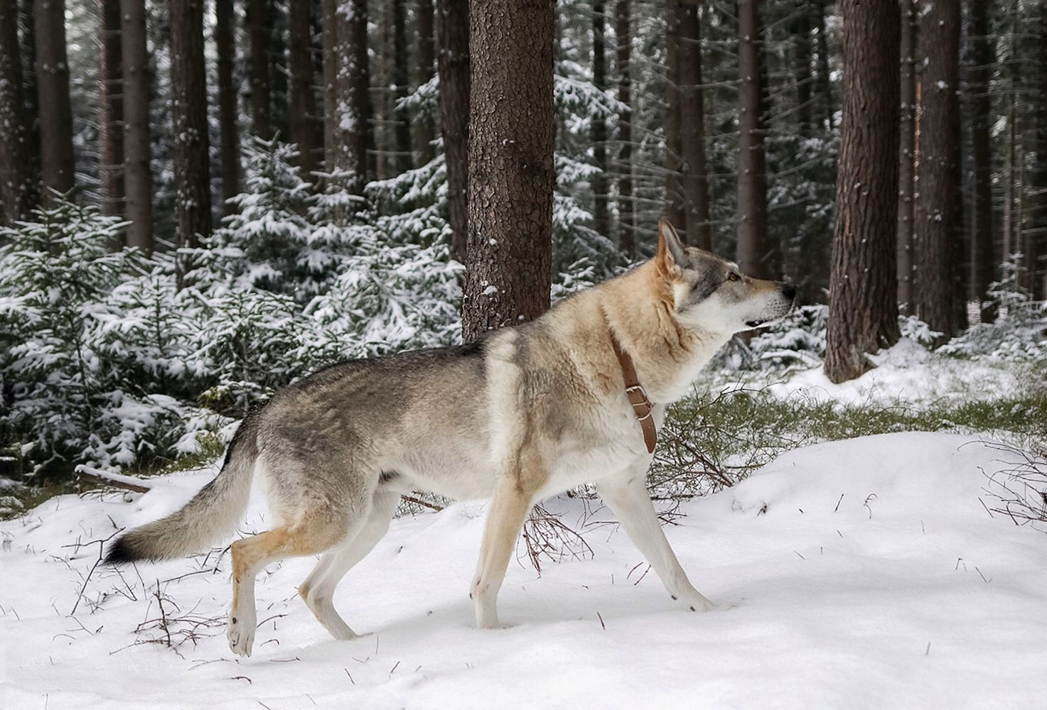 Now, the ego is not the same as a discipline we pursue with wolfdogs. Creating a bond where a wolfdog does listen to you can be set when making sure you follow the same discipline you expect from them with one difference from pushing ego instead – it's done calmly but firmly.   #animalbehavior #nageoyourshot #wolfdog