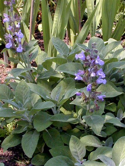 Salvia Officinalis Quot Berggarten Sage Quot Yard Garden