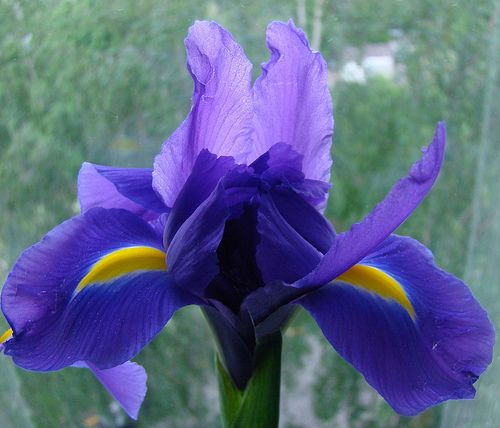 Iris Flower Blue Purple White Iris Flower Pictures Iris Flowers Iris Flower Pictures Most Beautiful Flowers