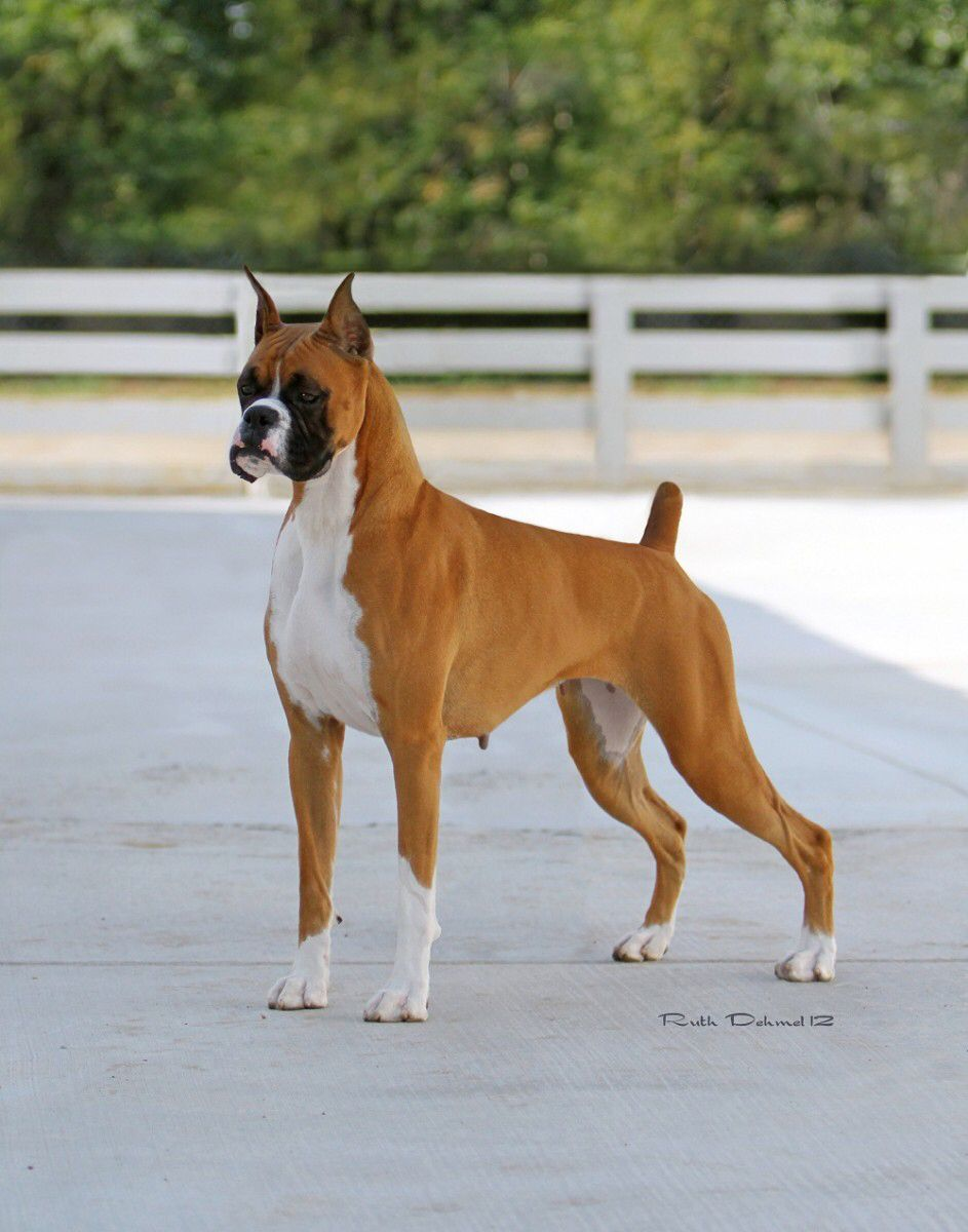 Pin By Fernando Montez On Boxers Dogs Boxer Dogs Boxer Puppies