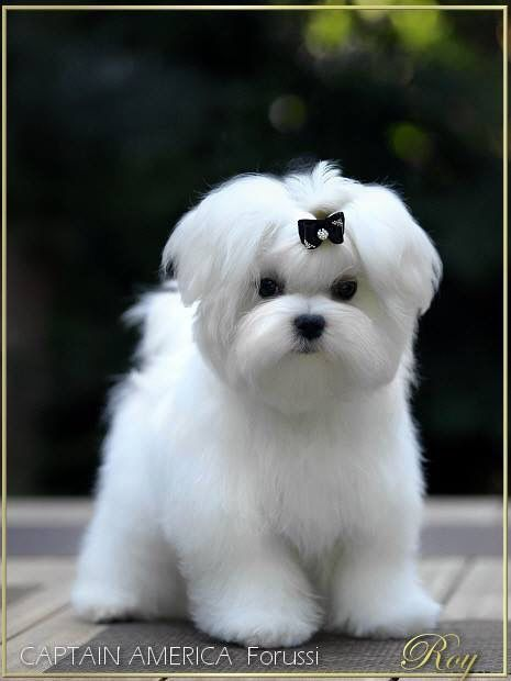 Delizioso Batuffolo Candido Maltese Pinterest Maltese Dog And