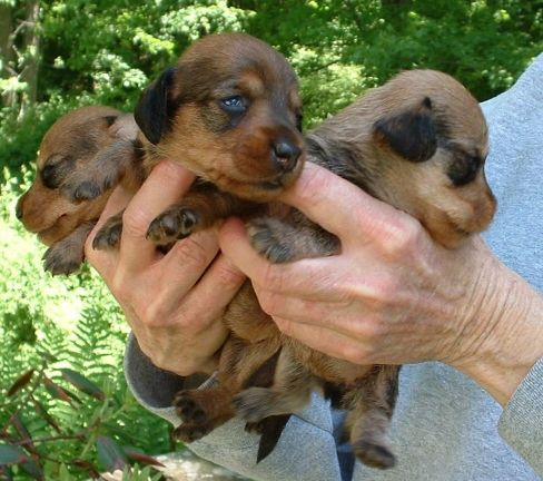 Miniature Dachshunds Breeder Dachshund Puppies Miniature Wirehair
