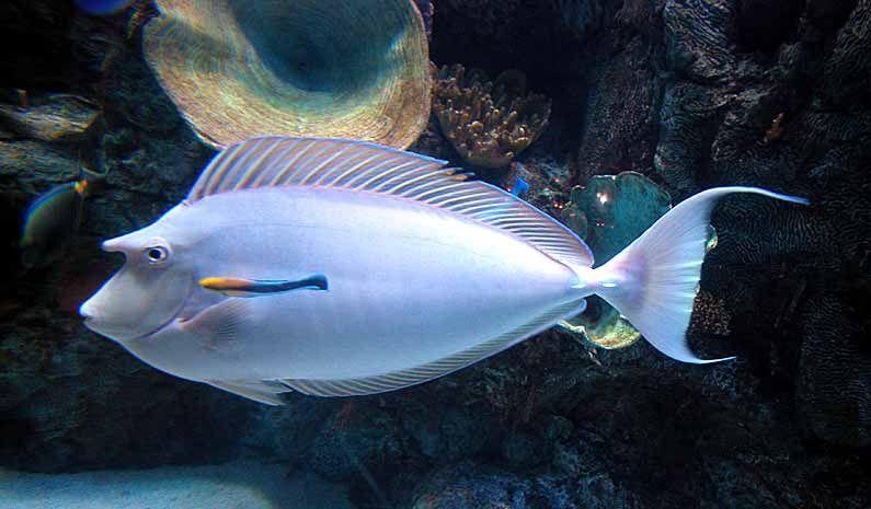 unicorn fish Unicorn fish, Saltwater tank, Fish