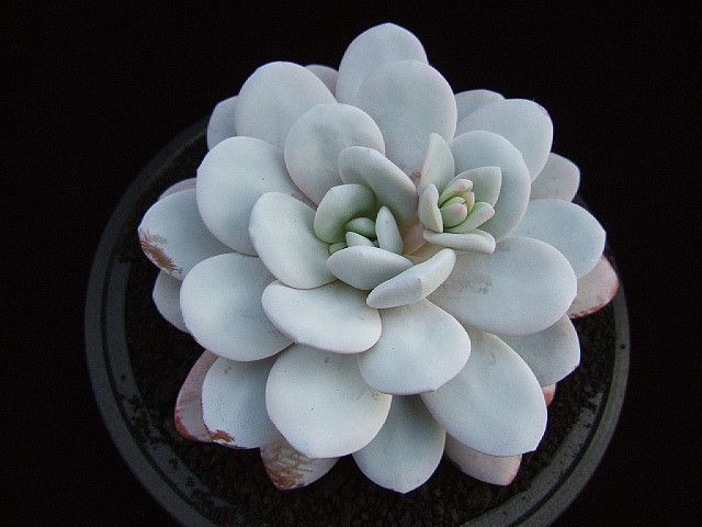 Echeveria laui - Flickr - Photo Sharing!