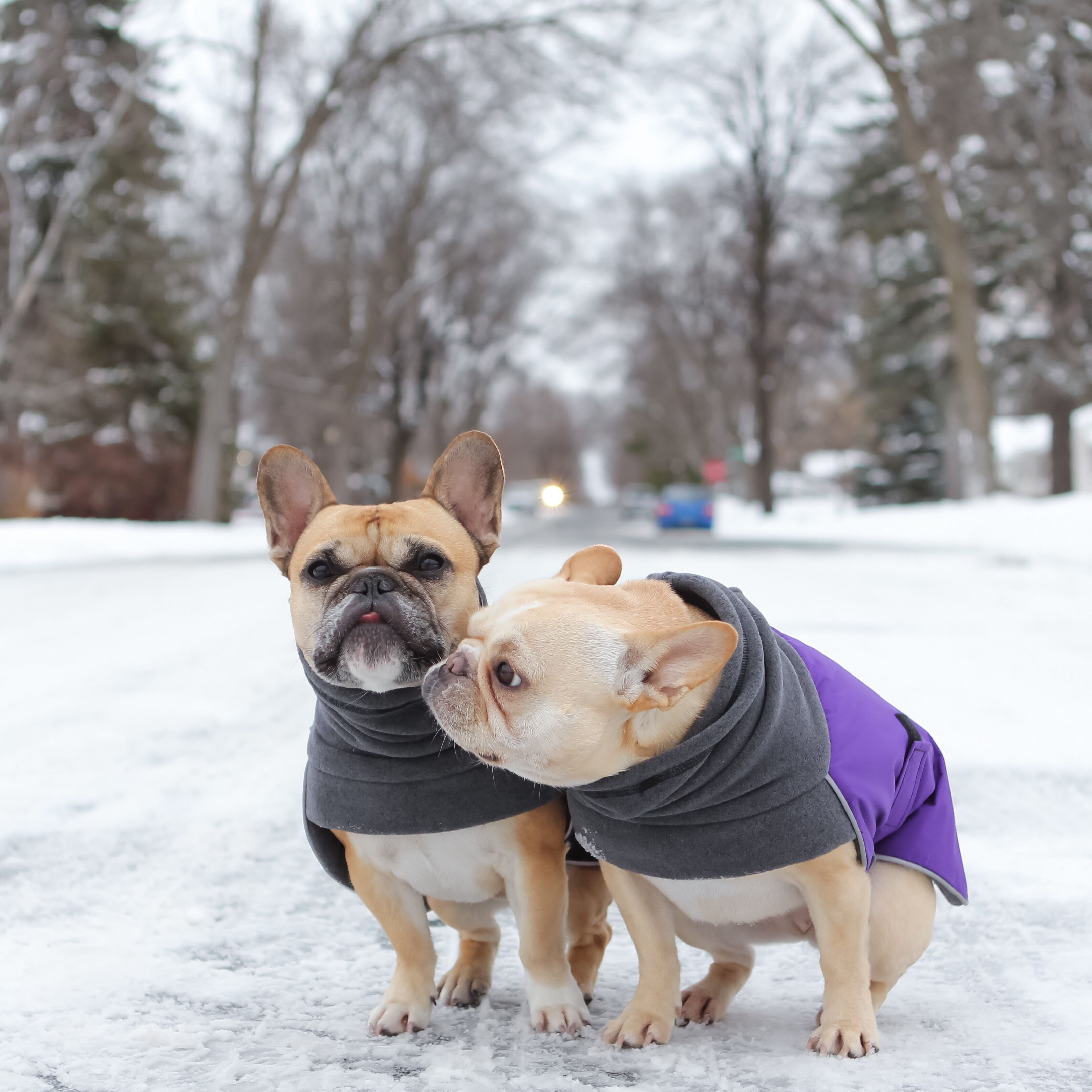 Home French Bulldog Puppies Bulldog Breeds Pets Dogs Breeds