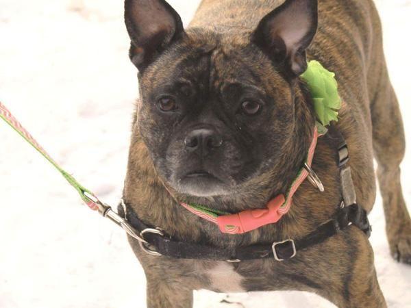 I Found Lilly On Boston Terrier Rescue Italian Greyhound