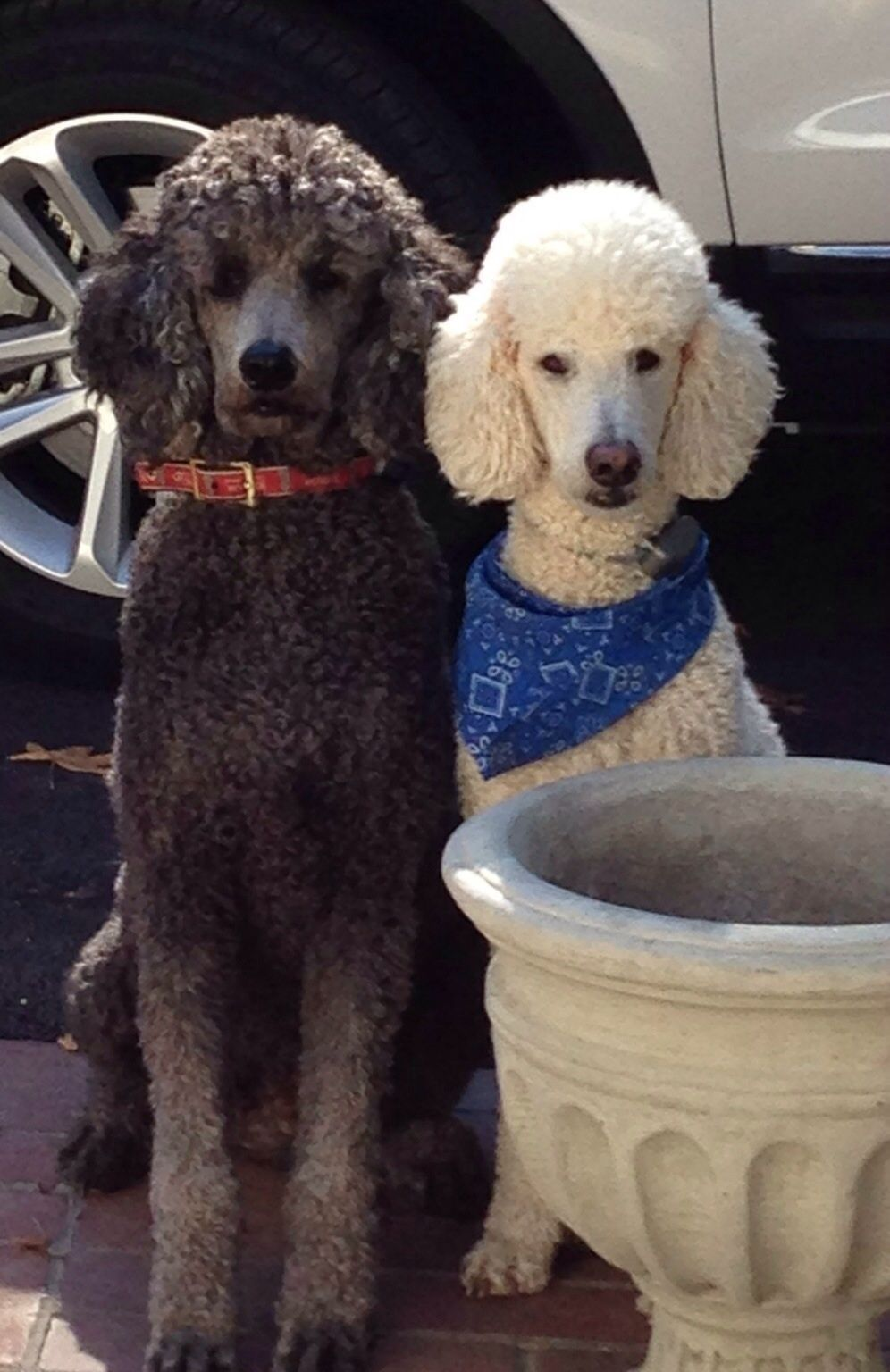 Nickel And Newton Waiting To Go On A Car Ride Poodle Poodle