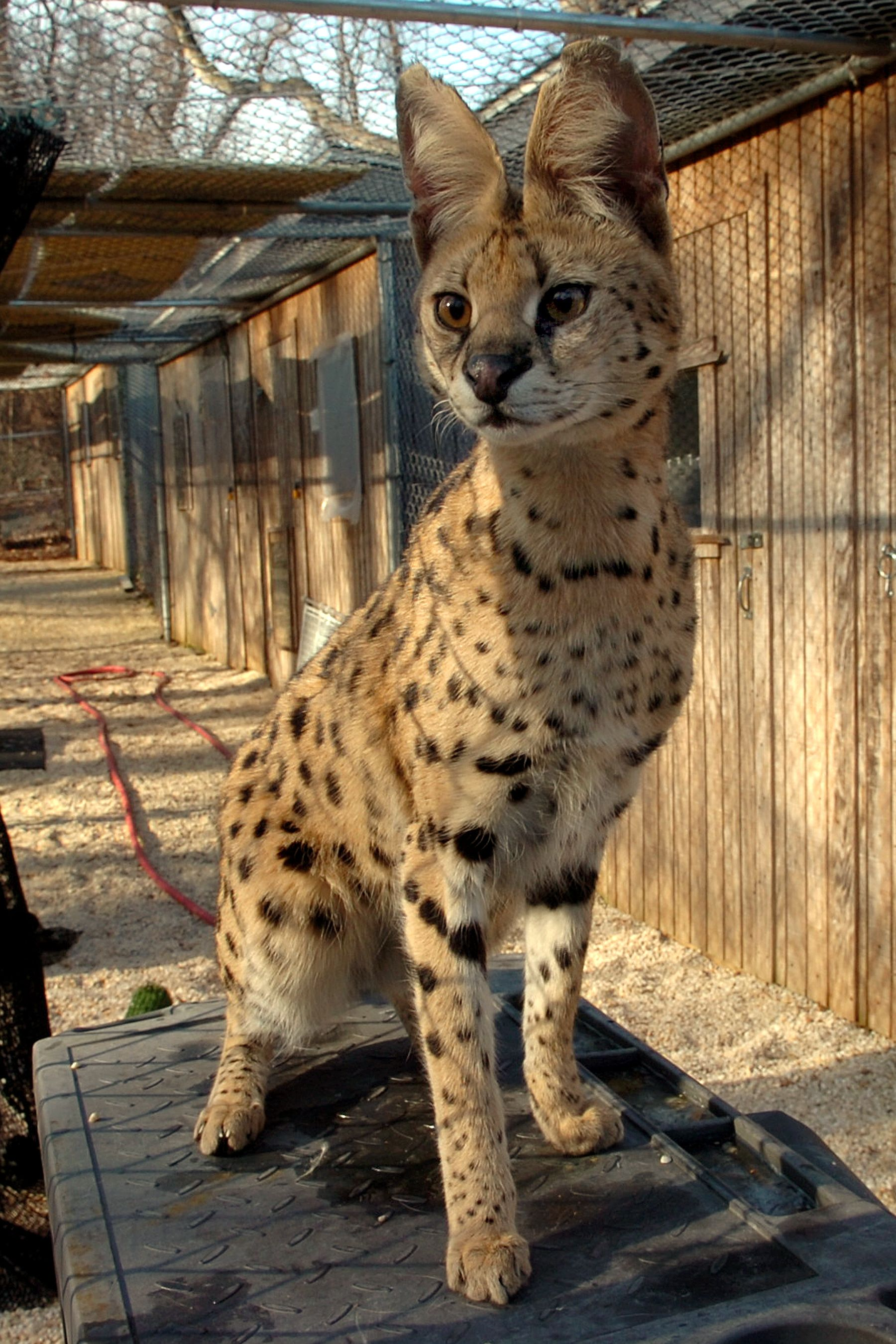 Jamilla the Serval from the MD Zoo in Baltimore