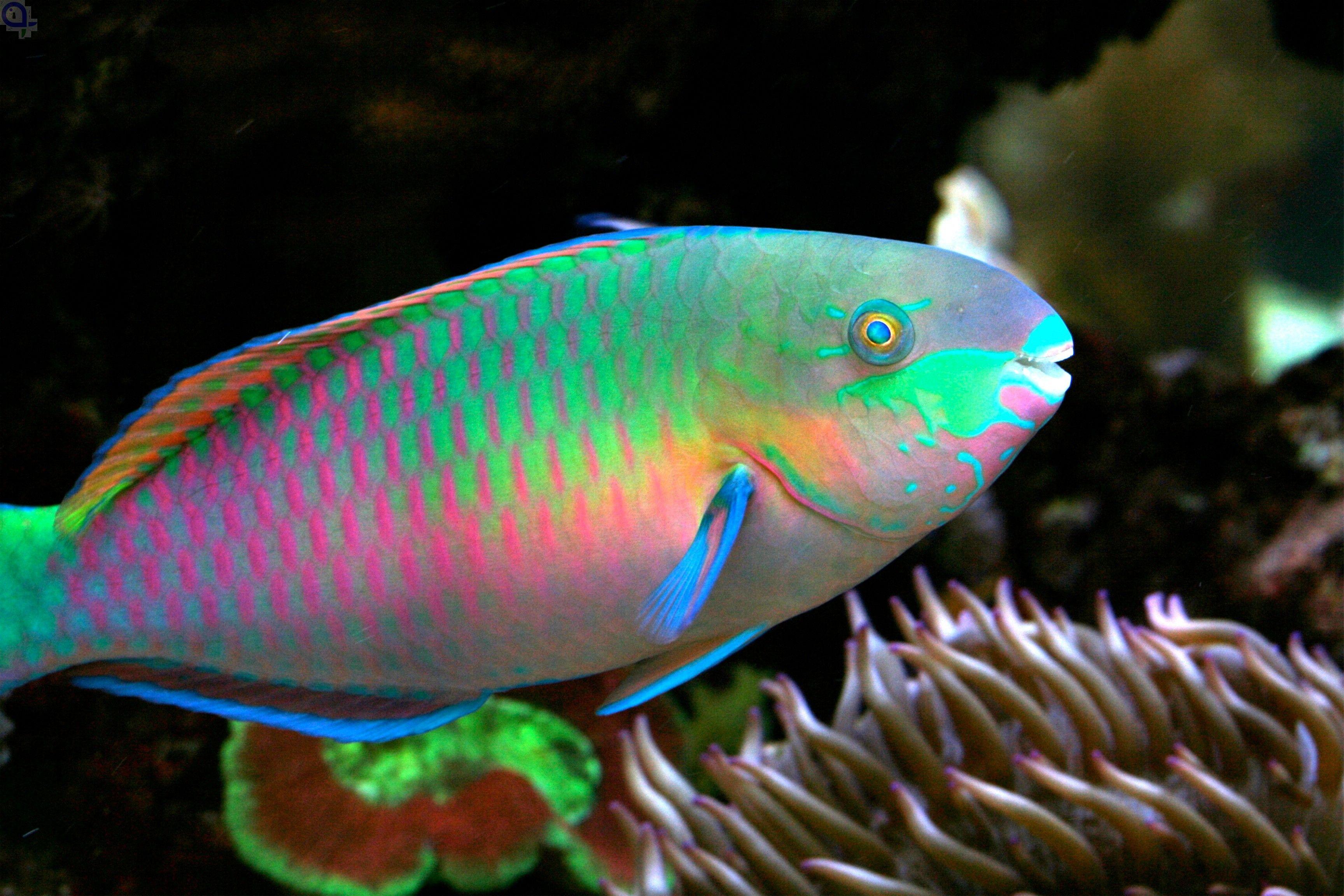 Papageifisch Quoyi Tiefseefische Und Fische