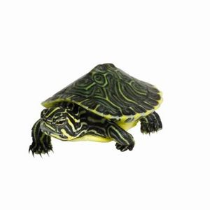 How To Take Care Of A Fresh Water Turtle Cuteness Yellow Belly Turtle Aquatic Turtles Pet Turtle