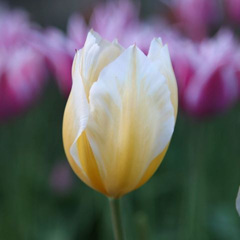 These Sweetheart Tulips Love A Spot In A Sunny Border And Bloom From April They Make A Wonderful Statement In The Tulip Bulbs Tulips Spring Flowering Bulbs