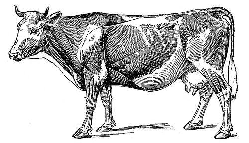 Cow anatomy / Anatomia da Vaca | Anatomía, Vaca y Grabado