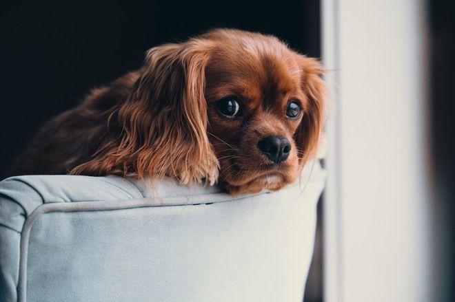 Pet's Place: BB the Cavalier Spaniel