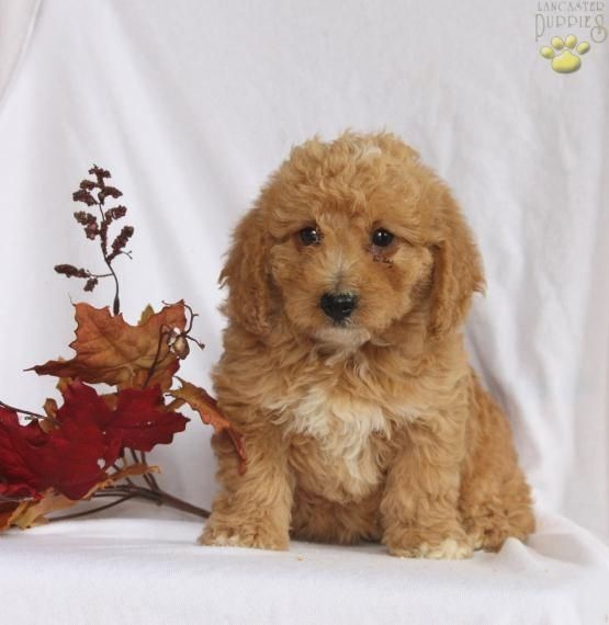 Pin By Doglove On Labradoodle With Images Labradoodle Puppies