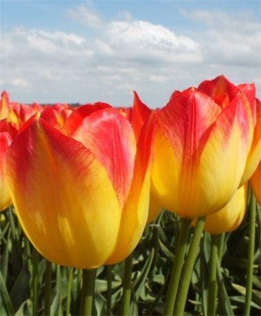 Tulip Suncatcher - Triumph Tulips - Tulips - Flower Bulb Index
