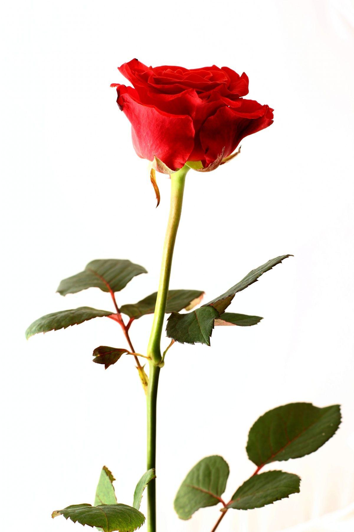 установить роза на длинной ножке картинки особи