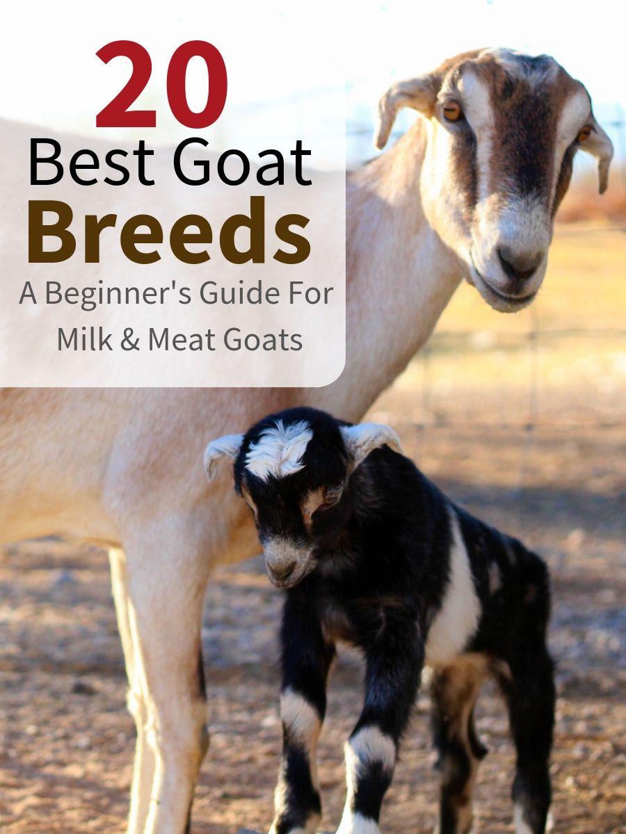 20 Best Goat Breeds | Animal husbandry | Goat farming, Raising goats