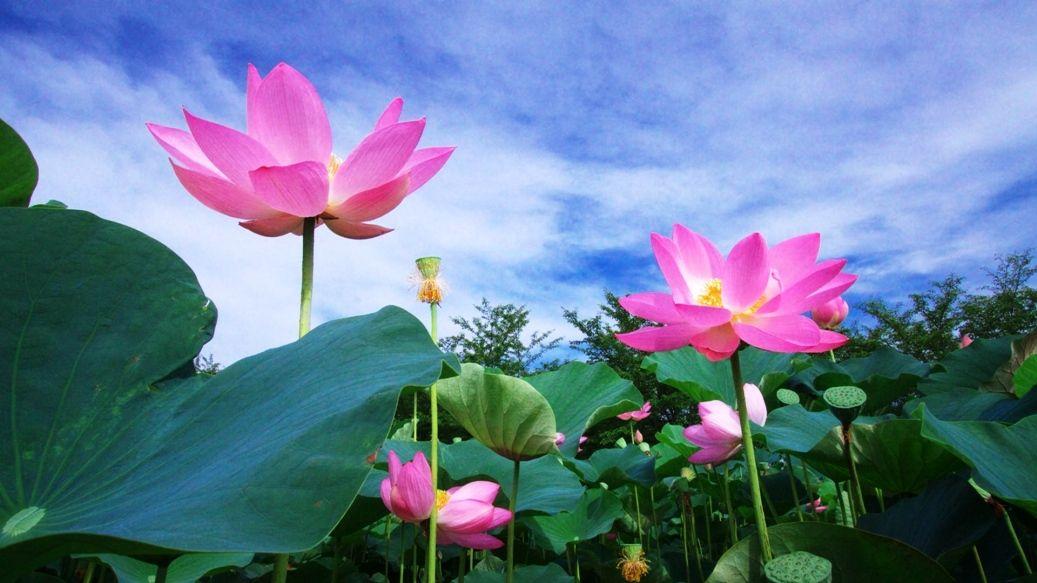 Gambar Bunga Teratai Di Perairan Bunga Teratai Bunga Gambar